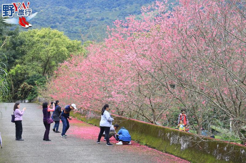 縱谷櫻花杜鵑盛開 春遊荖山賞花秘境 @YA 野旅行-旅行不需要理由