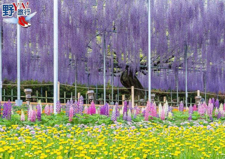 門票越貴越開心 足利花卉公園浪漫紫藤花 @YA 野旅行-旅行不需要理由
