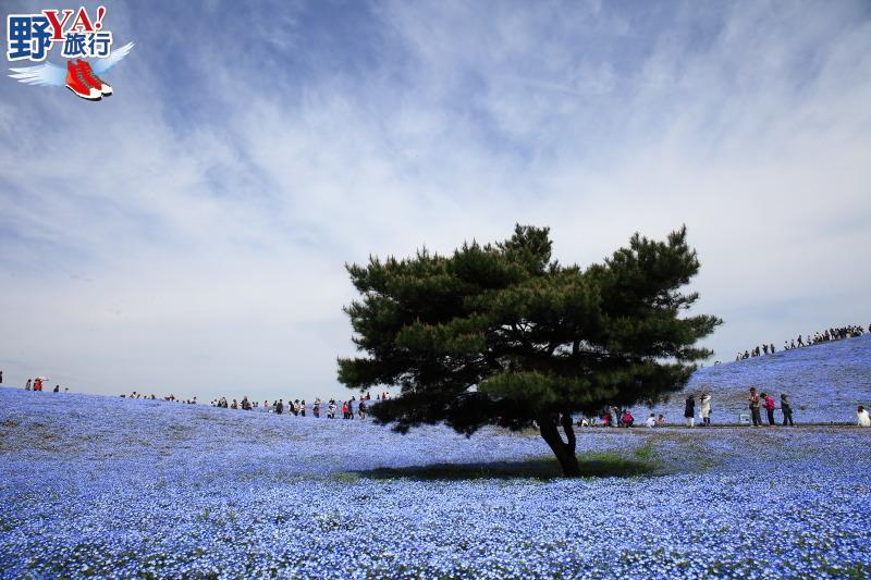 北關東春天最浪漫的風景 常陸海濱公園粉蝶花海 @YA 野旅行-旅行不需要理由