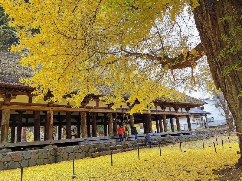 金黃銀杏灑落一季浪漫 喜多方新宮熊野神社紀行 @YA 野旅行-旅行不需要理由