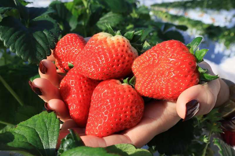 一莓一笑松森農園採果體驗 仙山必去草莓吃到飽 @YA 野旅行-旅行不需要理由