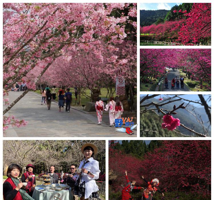 監測3年臺版「櫻花前線情報」出爐 推算九族櫻花祭在春節 @YA 野旅行-旅行不需要理由