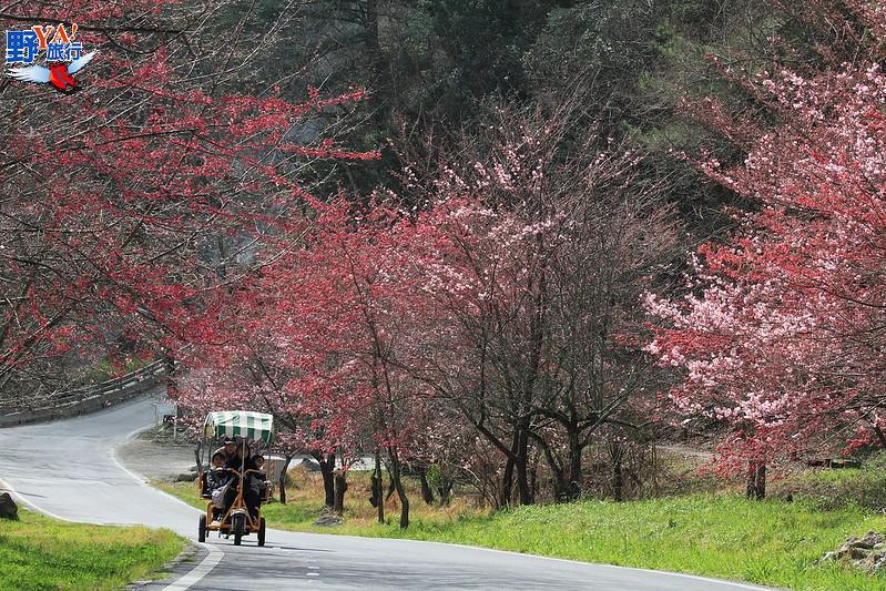 武陵農場櫻花季2/12登場!賞櫻專車套票1/6開賣 @YA 野旅行-旅行不需要理由
